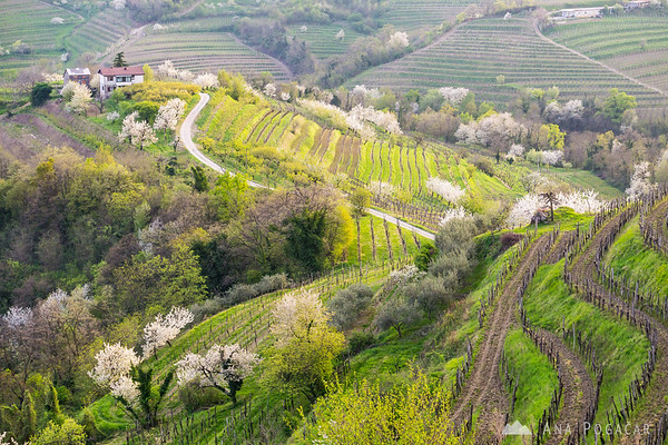 Blooming cherry trees in Goriška Brda, near Šmartno