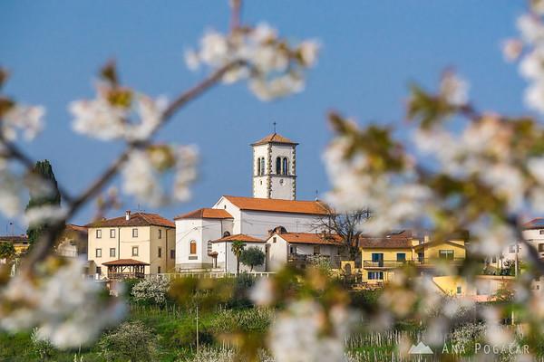 Blooming cherry trees in Goriška Brda - Medana