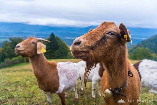 Goats in Jamnik on a cloudy day