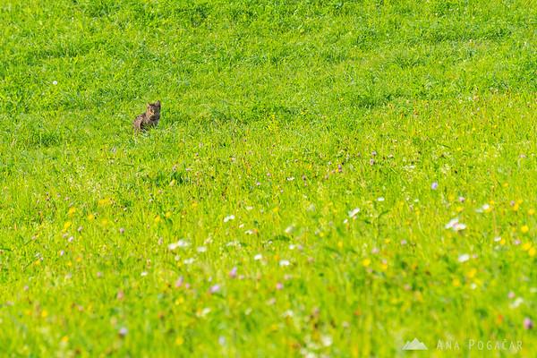 Cat in the fields in Sv. Trojica