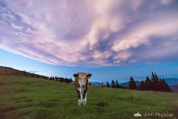 Mammatus clouds above Velika planina after sunset, and a cow :)