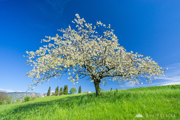 Blossoming tree near the village of Goče near Vipava