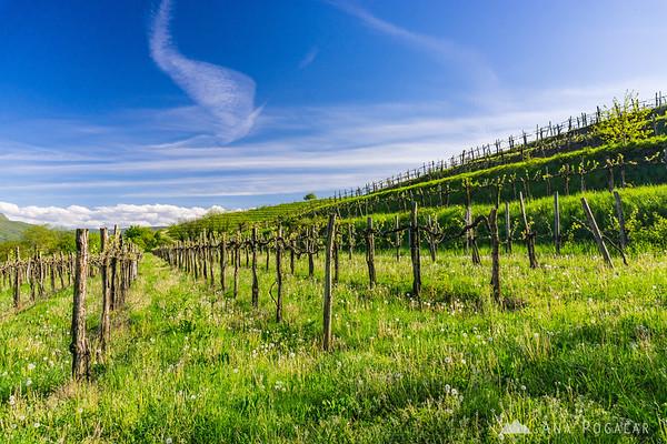 Vineyards, Vipavska