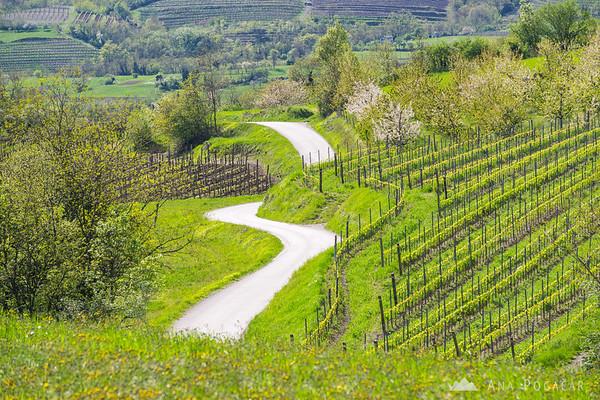 Vineyards near Erzelj, Vipavska