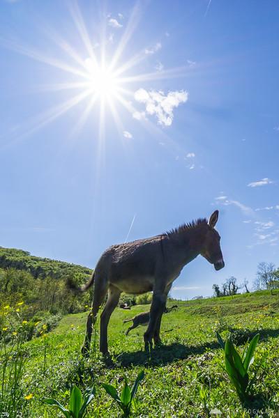 Donkeys, Vipavska
