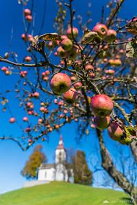 St. Thomas church and an apple tree
