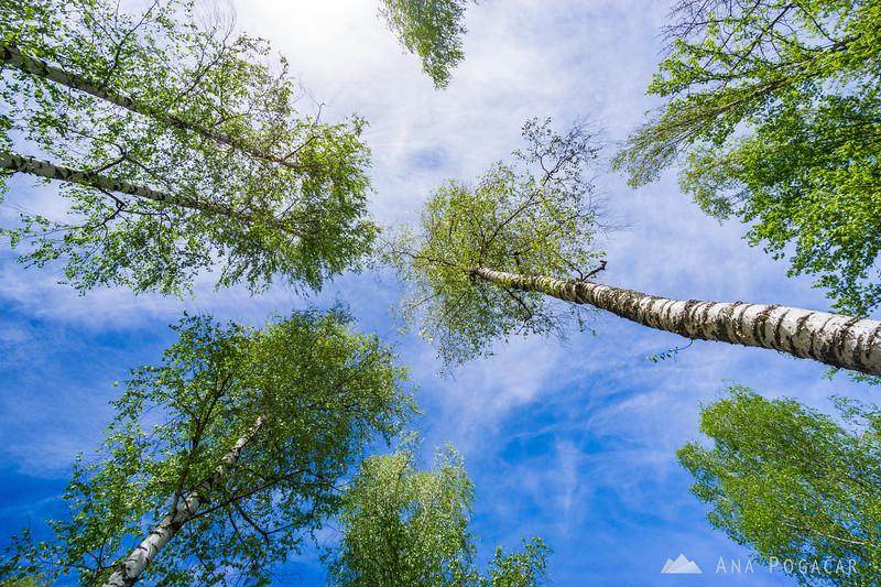Birches in Vinomer near Drašiči, Bela krajina