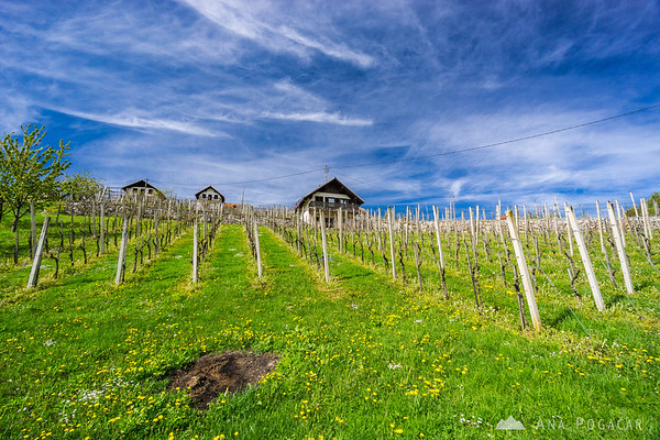 Vineyards in Drašiči, Bela krajina