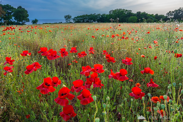 A poppy field near Savudrija