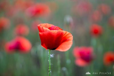 A poppy field near Savudrija