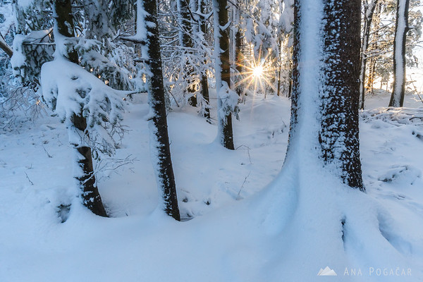 Snowy forest before sunset