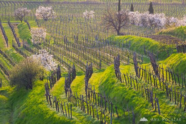 Vineyards and blooming cherry trees near Vipolže in Goriška Brda