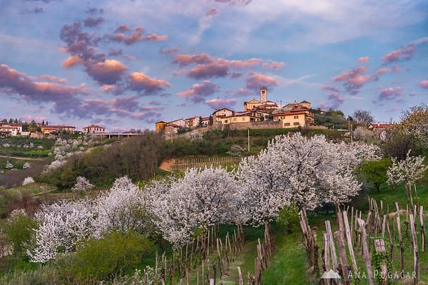 Vineyards and blooming cherry trees below Šmartno in Goriška Brda at sunset
