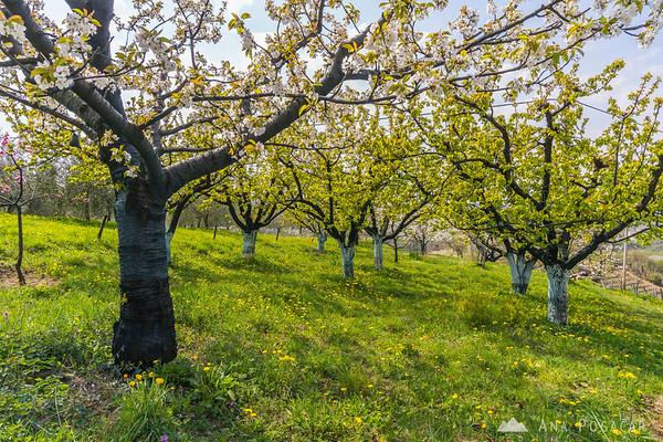 Blooming cherry trees in Kojsko, Goriška Brda