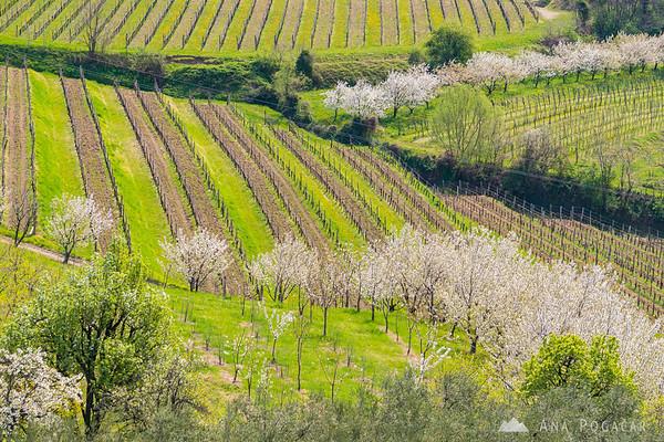 Blooming cherry trees in Goriška Brda