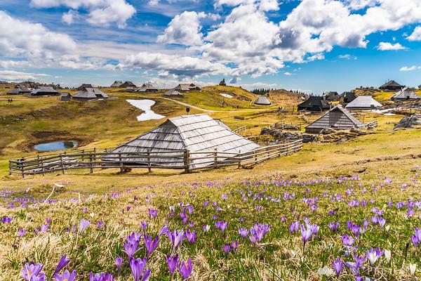 Shepherds' settlement and crocuses on Velika planina