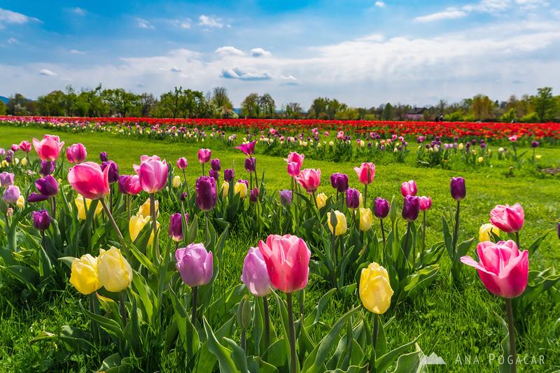 Tulips in Arboretum - Apr 14, 2017