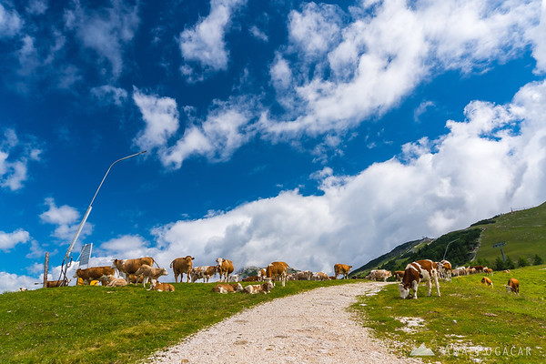 Cows on Krvavec