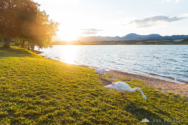 Swans on the shore of Velenje Lake at sunset