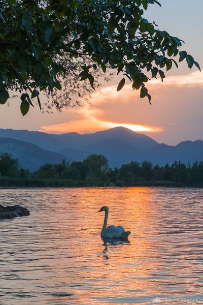 A swan on Velenje Lake at sunset