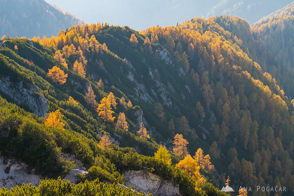 Views of the larch covered slopes on the climb up to Mt. Trupejevo poldne
