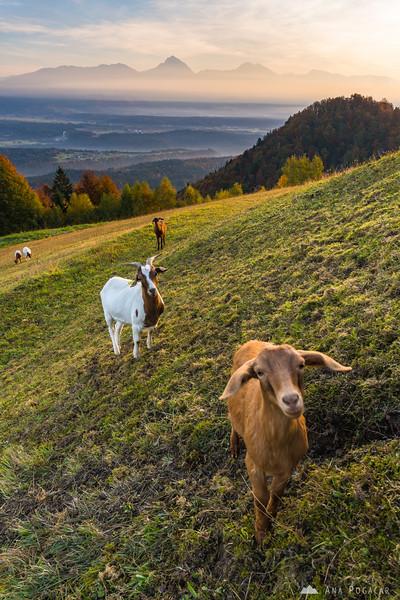 Goats in Jamnik