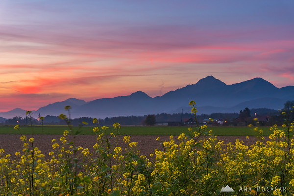 Rapeseed fields with Mt. Storžič in the background at sunset