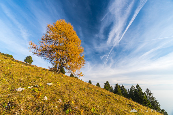Larch tree on Mt. Kržišče