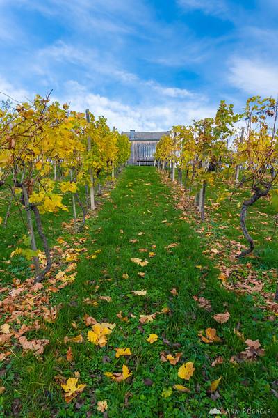 Vineyards in Slovenske gorice