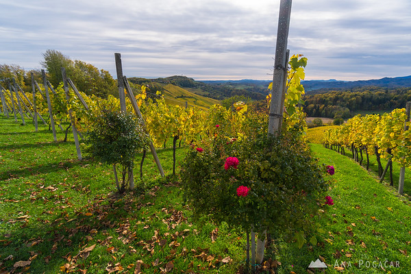 Vineyards in Slovenske gorice