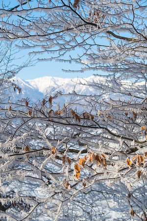 The Kamnik Alps through frosty trees