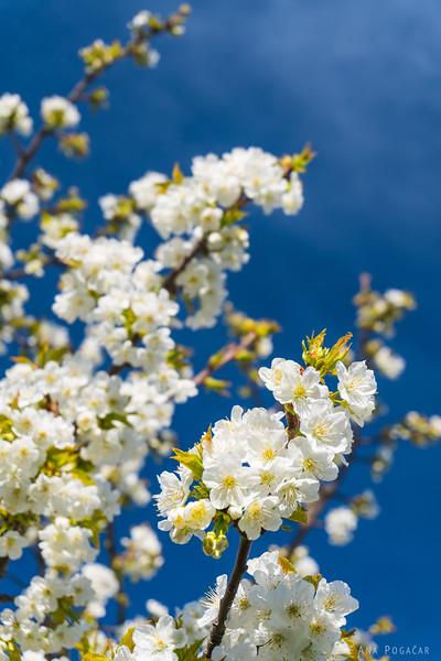 Blossoming cherry trees in Goriška brda