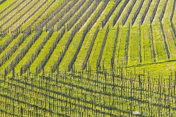 Vineyards in Goriška Brda