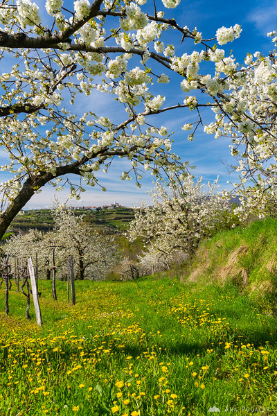 Blossoming cherry trees in Goriška Brda