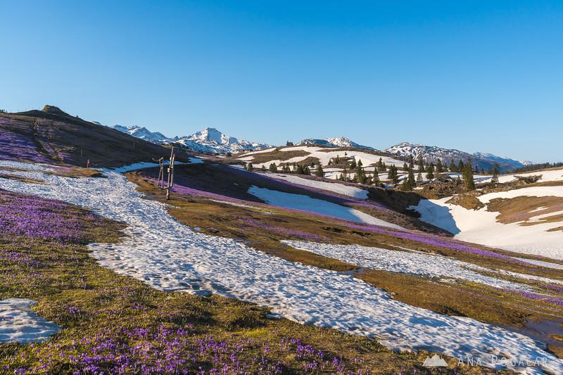 Sunny warm afternoon on crocus-clad Velika planina