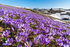 Carpets of crocuses on Velika planina on a sunny spring morning
