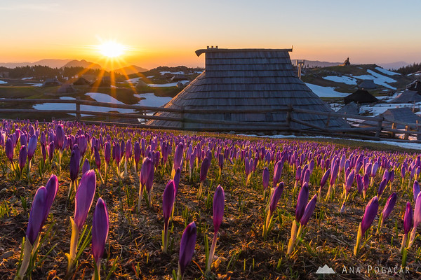 Sunrise on crocus-clad Velika planina