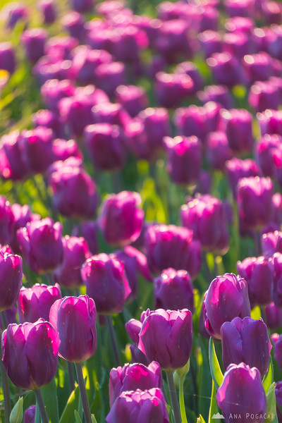Tulips in Arboretum Volčji Potok on a sunny spring afternoon