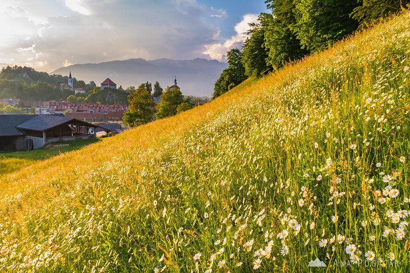 Flower-clad meadows on the slopes of Stari grad in the late afternoon light, with the Mali grad chapel and the Kamnik Alps in the background