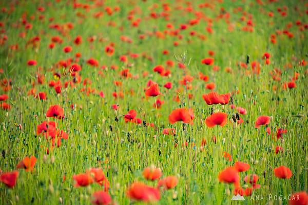 Poppy fields near Ptuj