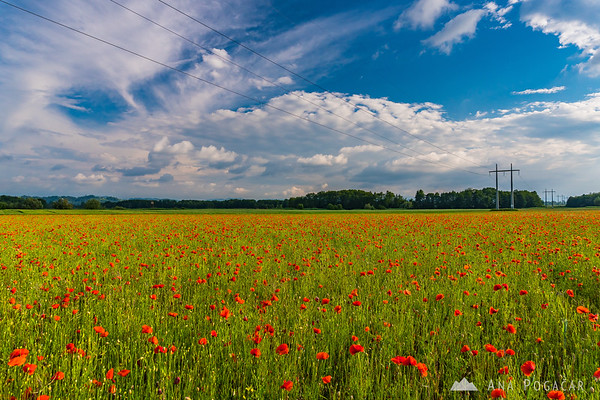 Poppy fields near Ptuj