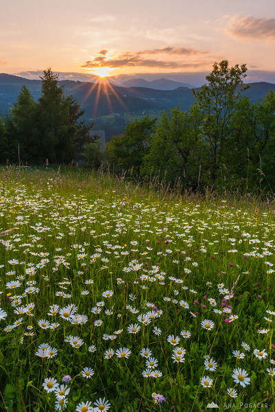 Daisy meadows in Spodnja Luša at sunset