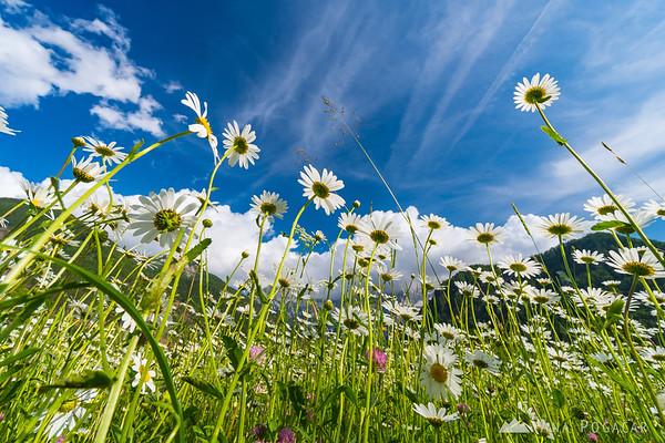 A meadow of daisies in Jezersko with the Kamnik Alps as the backdrop