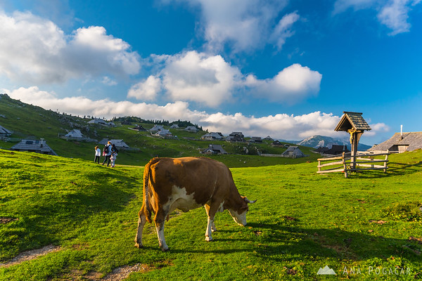 A cow and hikers on Velika planina on a sunny September afternoon