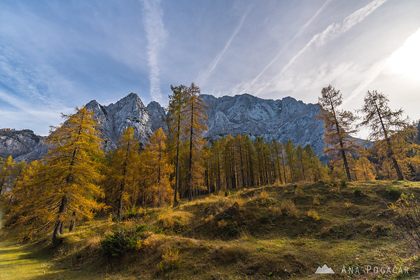 Golden larches below Vršič Pass with Mt. Prisojnik in the background