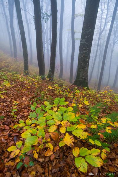 Fog in the woods above Kostanjevica