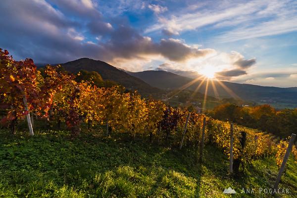 Vineyards near Kostanjevica