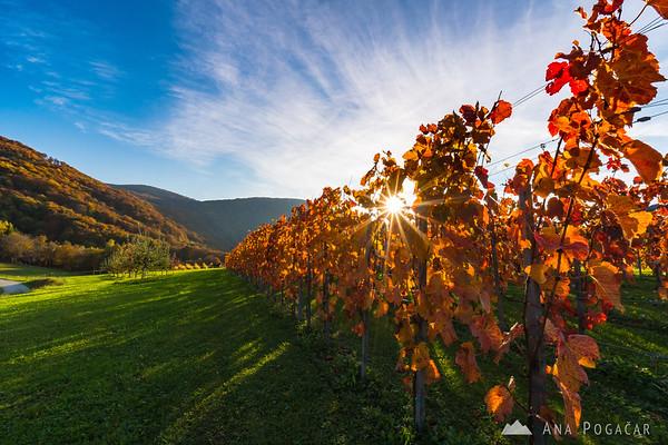 Vineyards in Dolšce