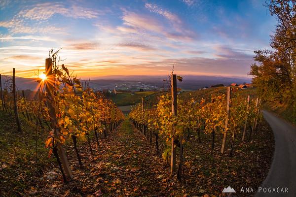 Sunset in the vineyards above Kostanjevica