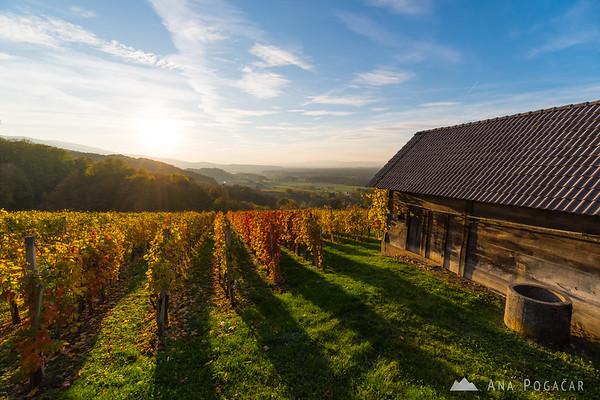 Vineyard in late afternoon